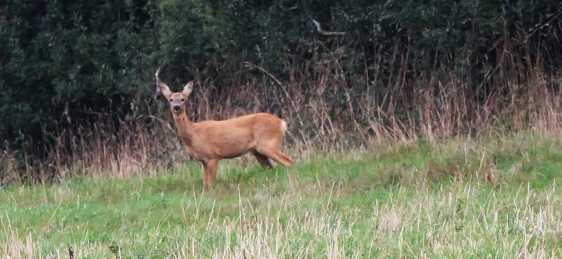 Deer spotting on North Tawton Footpath Walk